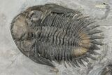 Awesome Bellacartwrightia & Eldredgeops Trilobite Plate - NY - #130684-10