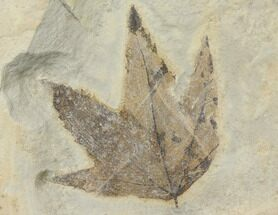 Platanus wyomingensis - Fossils For Sale - #130329