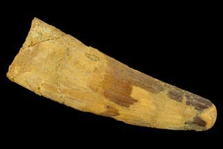 "Bargain, 2.76"" Spinosaurus Tooth - Real Dinosaur Tooth For Sale, #131012"