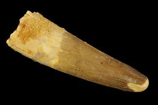 "2.07"" Real Spinosaurus Tooth - Feeding Worn Tip For Sale, #131036"