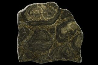 "Buy 4.3"" Polished Stromatolite (Acaciella) From Australia - 800 MYA - #130615"