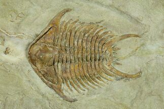 Foulonia sp. - Fossils For Sale - #131322