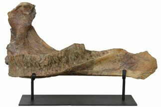 Triceratops horridus - Fossils For Sale - #131346