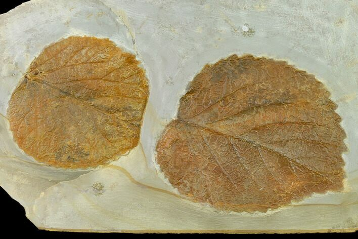 Two Fossil Leaves (Davidia) - Montana