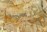 "4.2"" Petrified Wood (Araucaria) Slab - Madagascar  - #131418-1"