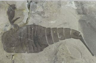 Eurypterus remipes - Fossils For Sale - #131493