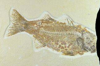 "Bargain 10.1"" Fossil Fish (Mioplosus) - Uncommon Species For Sale, #131129"
