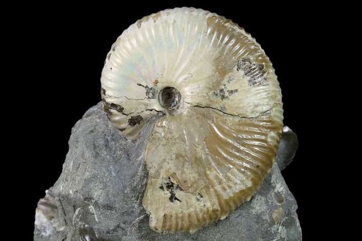 "1.8"" Fossil Hoploscaphites Ammonite - South Dakota"