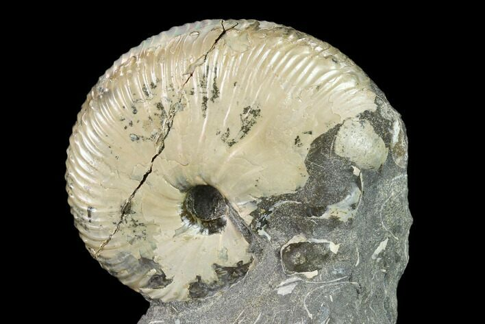 "1.7"" Fossil Hoploscaphites Ammonite - South Dakota"