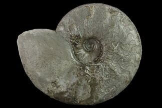 "4.15"" Triassic Ammonite (Ceratites Sublaevigatus) - Germany For Sale, #131915"