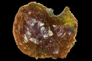 "10.4"" Vibrant Petrified Wood (Araucarioxylon) Round - Arizona For Sale, #132188"