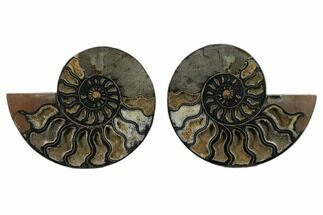 Buy 6.9 Split Black/Orange Ammonite Pair - Unusual Coloration - #132250