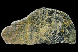 Asperia ashburtonia - Fossils For Sale - #132381