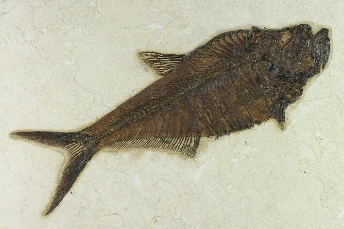 "10.6"" Fossil Fish (Diplomystus) - 18 Inch Layer, Green River Formation"