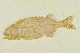 "Buy 4.2"" Fish Fossil (Phareodus) - Uncommon Fish - #132871"