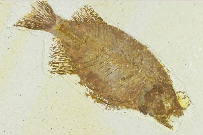"Bargain, 5.1"" Fish Fossil (Phareodus) - Uncommon Fish"