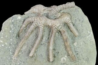 Agaricocrinus splendens - Fossils For Sale - #132804