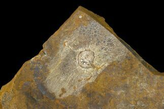 Cyclocarya brownii - Fossils For Sale - #133035