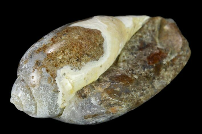 ".9"" Polished, Chalcedony Replaced Gastropod Fossil - India"