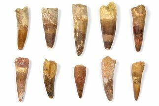 "Wholesale Lot: 1.9 to 2.9"" Bargain Spinosaurus Teeth - 10 Pieces For Sale, #133376"