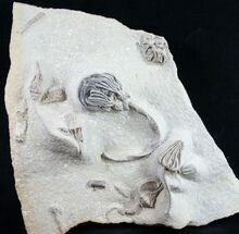 Platycrinites saffordi + 10 others  - Fossils For Sale - #9390
