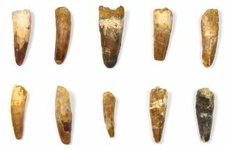 "Wholesale Lot: 1.6 to 2.2"" Bargain Spinosaurus Teeth - 10 Pieces For Sale, #133418"