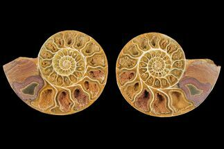 "Buy 4"" Cut & Polished Agatized Ammonite Fossil (Pair)- Jurassic - #131749"