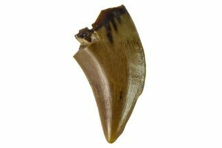 ".61"" Theropod (Raptor) Tooth - Judith River Formation For Sale, #133592"