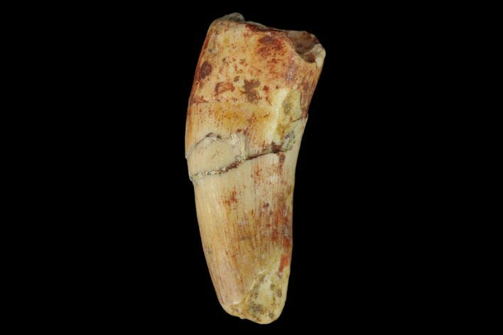 ".7"" Fossil Phytosaur Tooth - New Mexico"