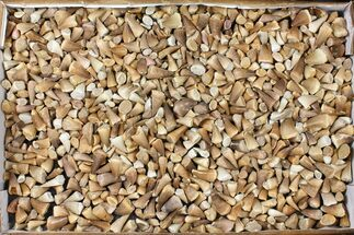 Wholesale Lot: Assorted Fossil Mosasaur Teeth - 1000 Pieces For Sale, #134126