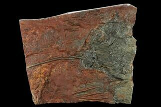 "10.7"" Silurian Fossil Crinoid (Scyphocrinites) Plate - Morocco For Sale, #134243"