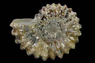 "2.9"" Bumpy Ammonite (Douvilleiceras) Fossil - Madagascar For Sale, #134153"