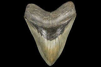 "Serrated, 5.58"" Fossil Megalodon Tooth - South Carolina For Sale, #134285"