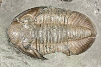 "Rare, 1.5"" Griffithites Trilobite - Crawfordsville, Indiana For Sale, #134351"