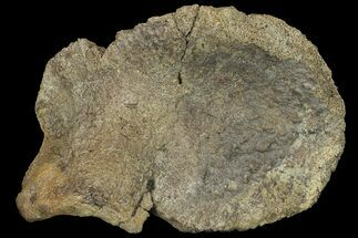"Buy 6.6"" Fossil Hadrosaur Astragalus - Alberta (Disposition #000028-29) - #134521"