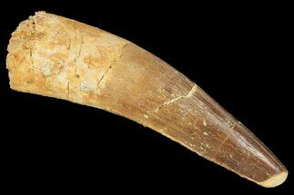 "Buy 2.61"" Spinosaurus Tooth - Real Dinosaur Tooth - #134494"
