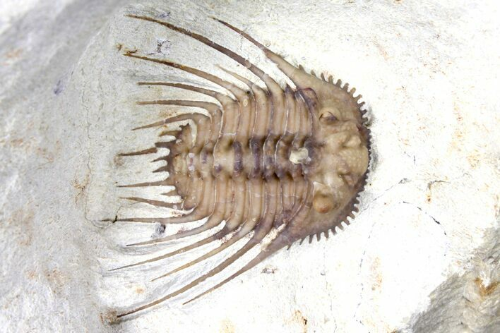 "1.05"" Kettneraspis Trilobite - Black Cat Mountain"