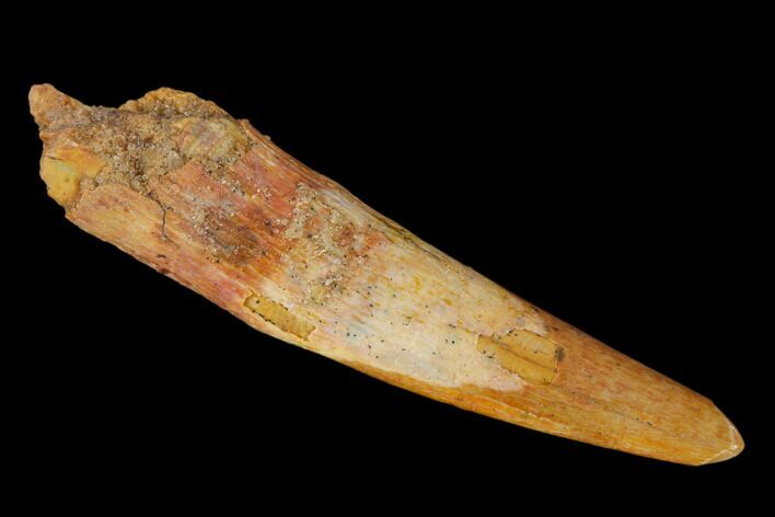 "Large, 1.62"" Fossil Pterosaur (Siroccopteryx) Tooth - Morocco"
