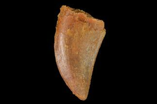 "Buy Serrated, .96"" Juvenile Carcharodontosaurus Tooth - Morocco - #134986"