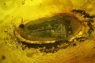 Buy Detailed Fossil Beetle (Coleoptera) In Baltic Amber - #135040