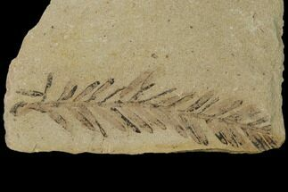 Buy Dawn Redwood (Metasequoia) Fossil - Montana - #135718