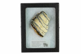 Mammuthus columbi - Fossils For Sale - #135309