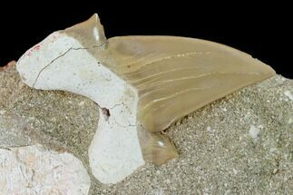 "2.4"" Otodus Shark Tooth Fossil in Rock - Eocene For Sale, #135833"