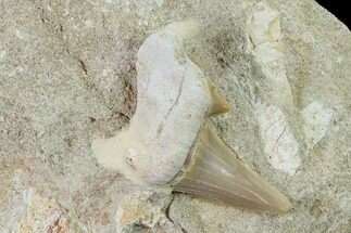 "1.9"" Otodus Shark Tooth Fossil in Rock - Eocene For Sale, #135851"