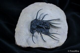 Dicranurus monstrosus - Fossils For Sale - #1542