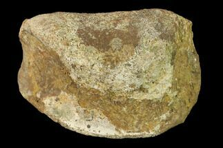 "Buy 2.85"" Fossil Hadrosaur Phalange - Alberta (Disposition #000028-29) - #136306"