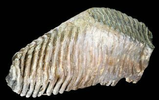 "12.4"" Woolly Mammoth Molar From Poland - Collector Quality! For Sale, #136514"