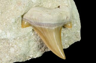 "1.6"" Otodus Shark Tooth Fossil in Rock - Eocene For Sale, #135845"