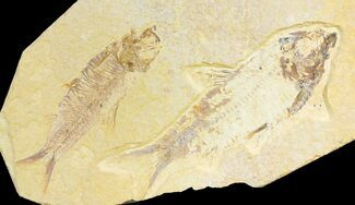 Pair of Fossil Fish (Knightia) - Wyoming For Sale, #136766