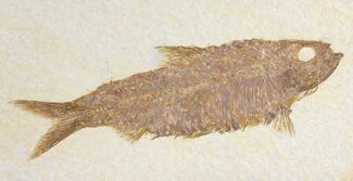 "Buy 4.7"" Fossil Fish (Knightia) - =Wyoming - #136783"